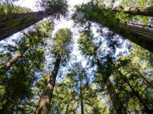 2018-Redwoods (189)